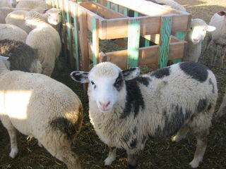 J&M Sheep Farm